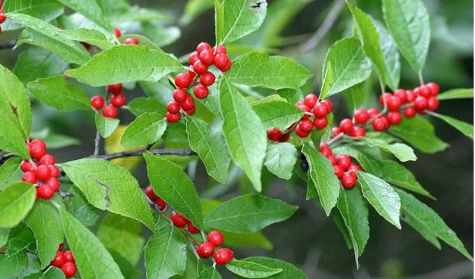 WinterberryHolly