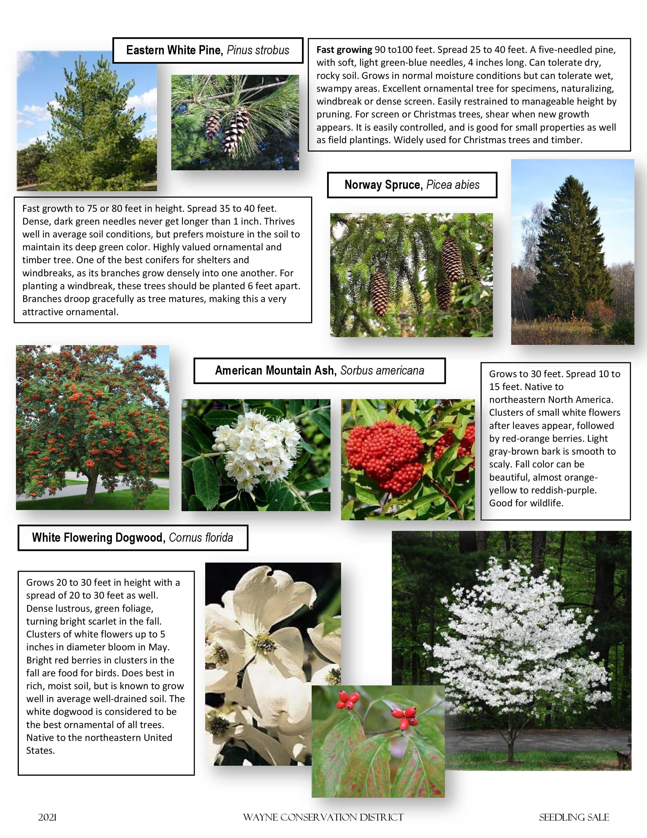 Page 1 of the Seedling Sale Flyer featuring evergreens and hardwoods.